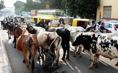 cows-on-streets.jpg